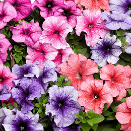 Petunia Mix Colores semillas