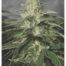 Og Kush CBD x3 Medical Seeds