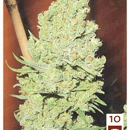 Channel + x3 Medical Seeds