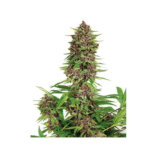 Purple Kush x3 Fem  Buddha Seeds