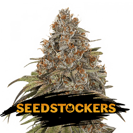 Blackberry Gum Auto x5 Seeds Stockers