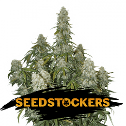 Big Bud Auto x3 Seeds Stockers