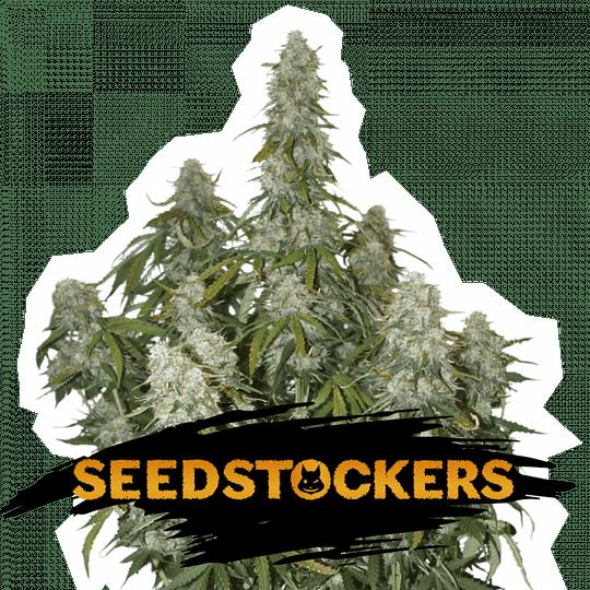 Big Bud Auto x3 Seeds Stockers
