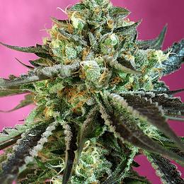 Sweet Nurse CBD Auto 3+1 Swett Seeds