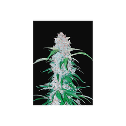 Six Shoother Auto x3 Fast Buds