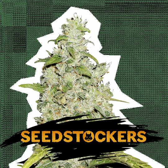Amnesia Fem x3 Seeds Stockers