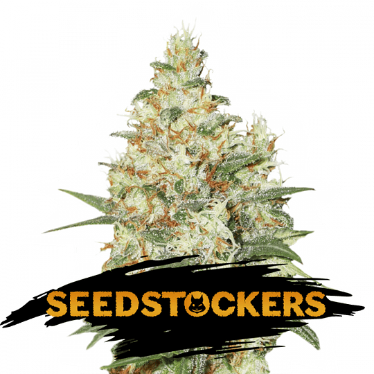 Og Kush Auto x3 Seed Stockers