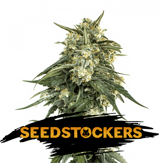 Bcn Critical xxl fem x5 Seeds Stockers