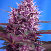 Red Poison Auto 3+1 Sweet Seeds