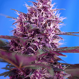 Red Poison 3+1 Sweet Seeds