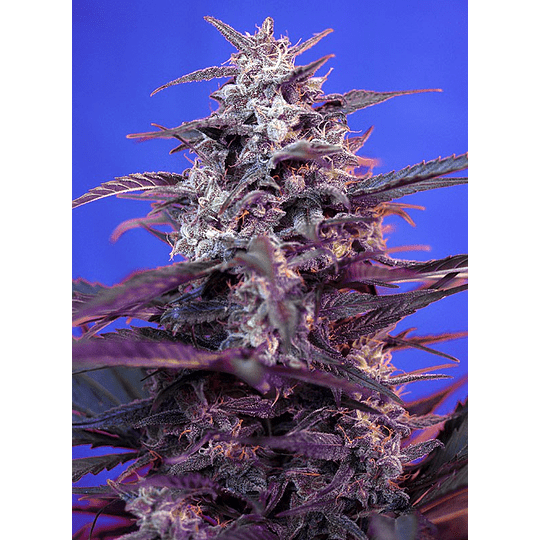 Bloody Skunk Auto 3+1 Sweet Seeds