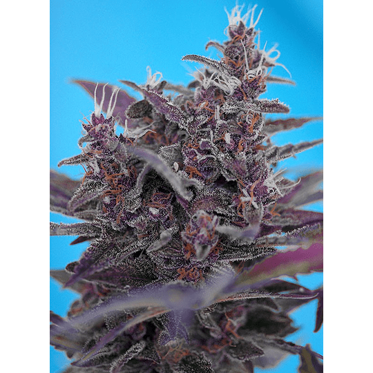 Black Cream Auto 3+1 Sweet Seeds