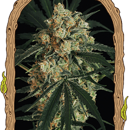 Triple A Auto x5 Exotic Seeds