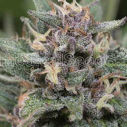 Blue Hell Auto x3 Medical Seeds