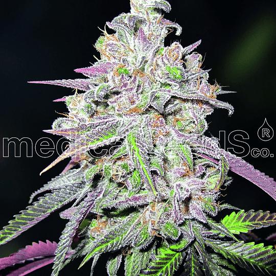 Mendocino Chanel Kush x3 Medical Seeds