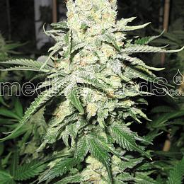 No Name x3 Medical Seeds