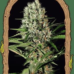 Quick Mass x3 Fem Exotic Seeds