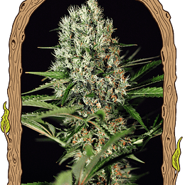 Quick Mass x5 Fem Exotic Seeds