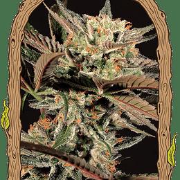 Amnesia Nr 7 x5 Exotic Seeds