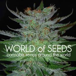 New york 47 x3 World Of Seeds