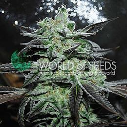 Strawberry Blue x3 World Of Seeds