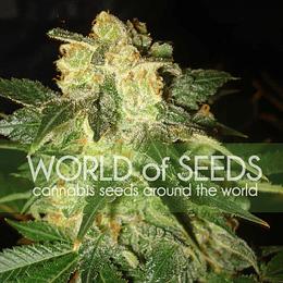 Pakistan Ryder Auto x3 World Of Seeds