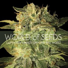 Sugar Mango Ryder Auto x3 World Of Seeds