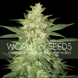 Sweet Coffee Ryder Auto x3 World Of Seeds