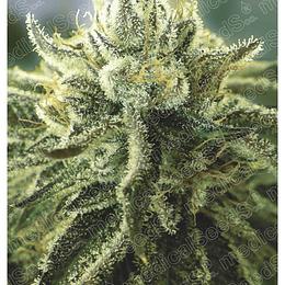 Canadian Kush 2.0 x3 Medical Seeds