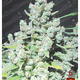 Malacoff x3 Medical Seeds
