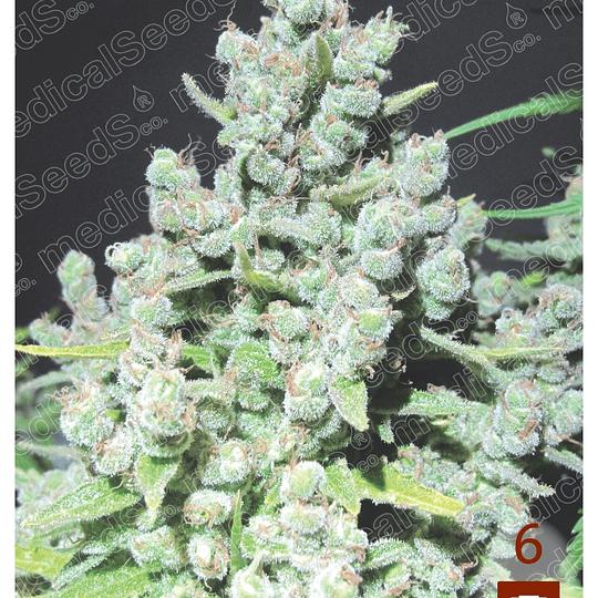Malakoff x3 Medical Seeds