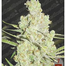 1024 x3 Medical Seeds