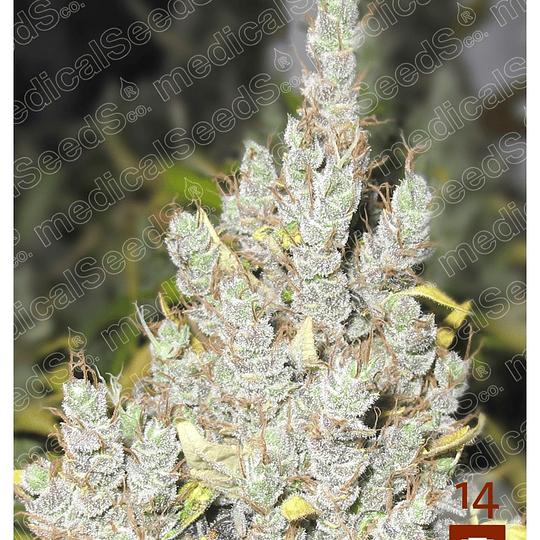 2046 x3 Medical Seeds