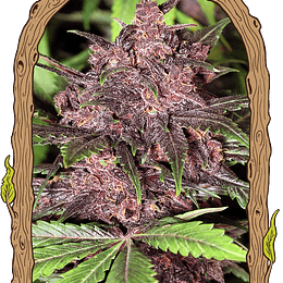 Black Haze Auto  x10 Exotic Seeds