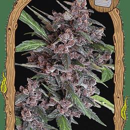 Black Lemon Auto x5 Exotic Seeds