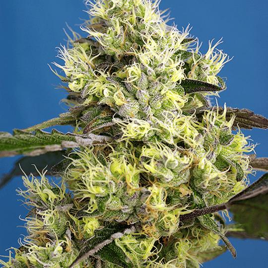 Sweet Gelato  Auto 3+1 Sweet Seeds