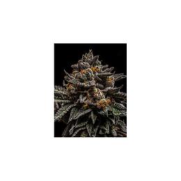 Brain Cake x3 Ripper Seeds