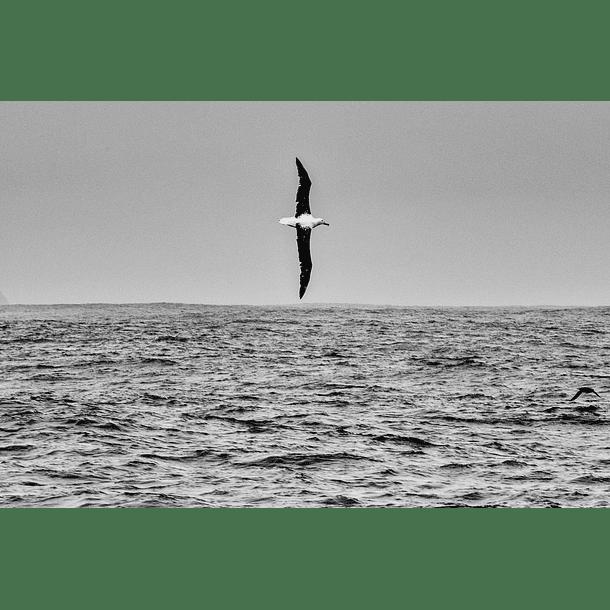 Albatros real en maniobra