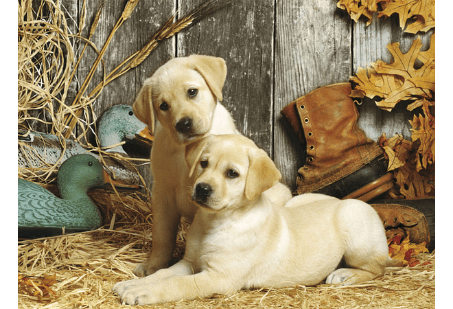 Puzzle 1500 Piezas - Labradores