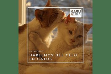 El celo en las gatas: todo lo que necesitas saber