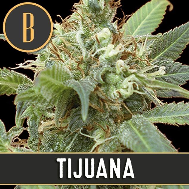Tijuana x3