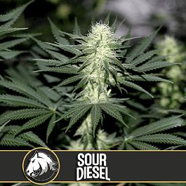 Sour diesel x3