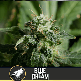 Blue dream 3+1