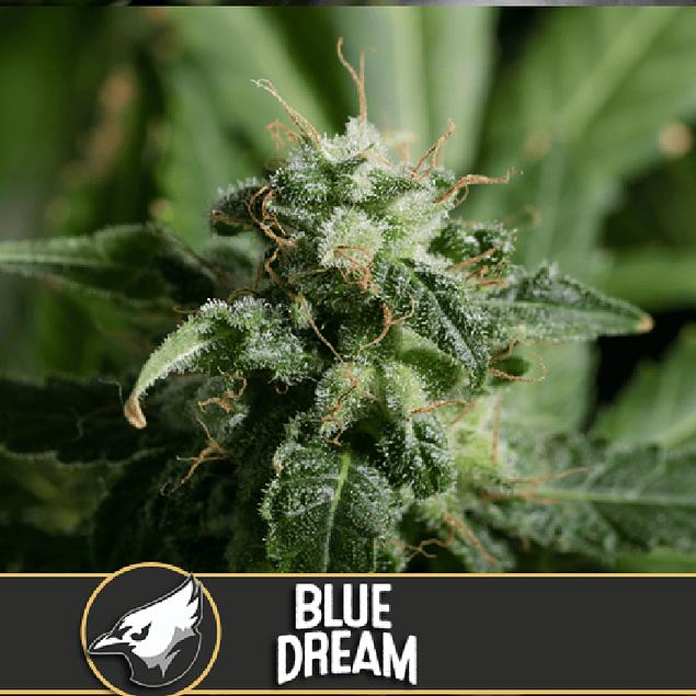 Blue dream x3
