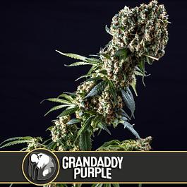 GranDaddy purple 3+1