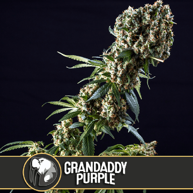 GranDaddy purple 3+1