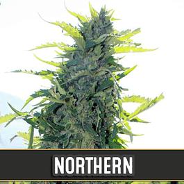 Northern Auto x3