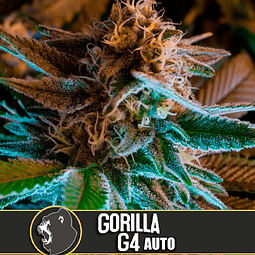 Gorilla G4 Auto x3