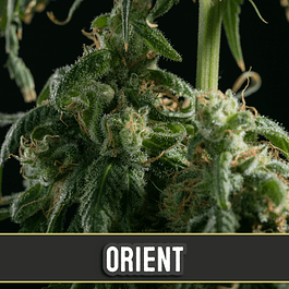 Orient Auto 3+1