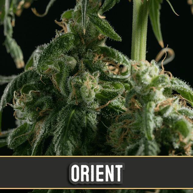 Orient Auto x3